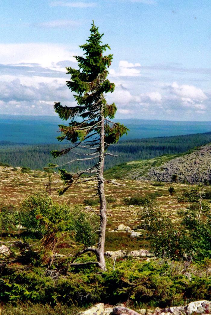 worlds-oldest-tree-9500-year-old-tjikko-sweden-4