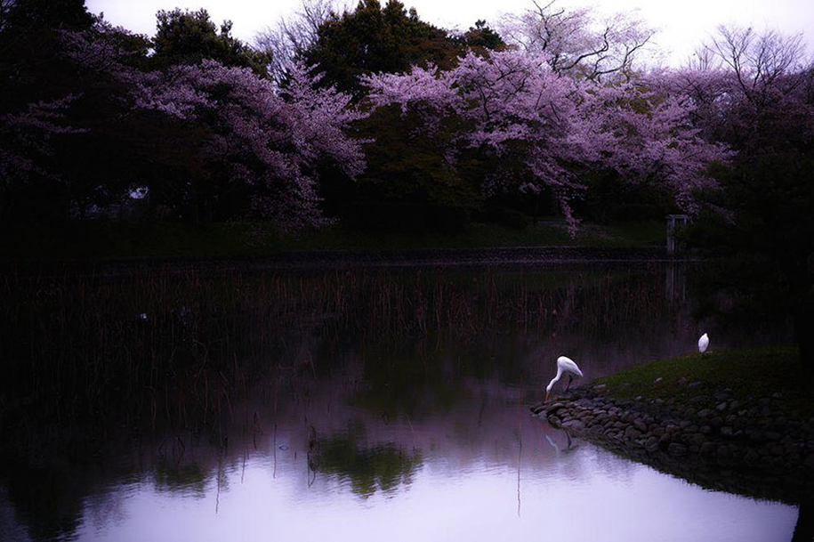 spring-colors-japan-cherry-blossoms-national-geographic-9