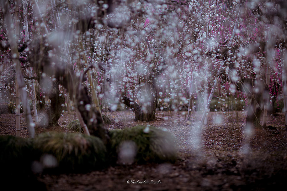 trees-blooming-spring-in-japan-hidenobu-suzuki -13
