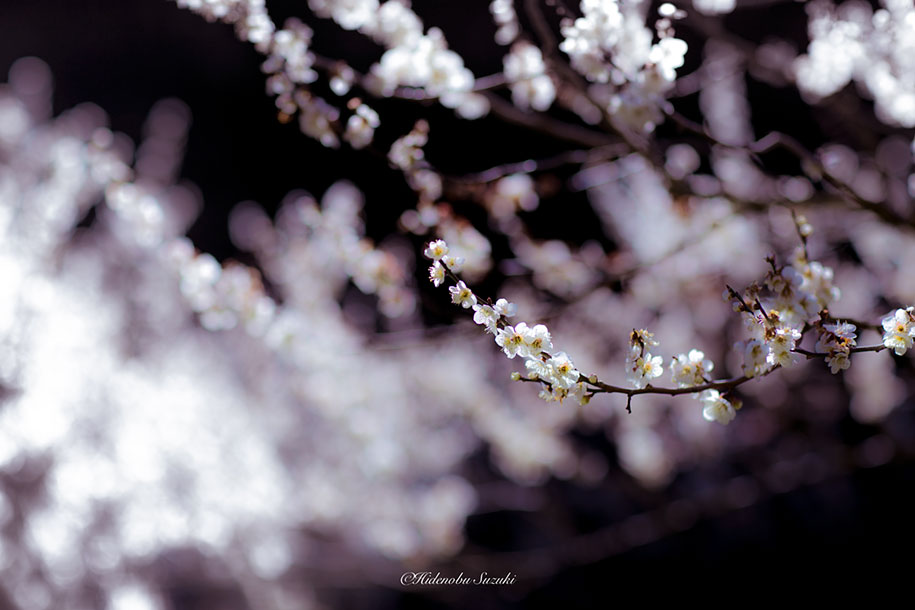 trees-blooming-spring-in-japan-hidenobu-suzuki -6