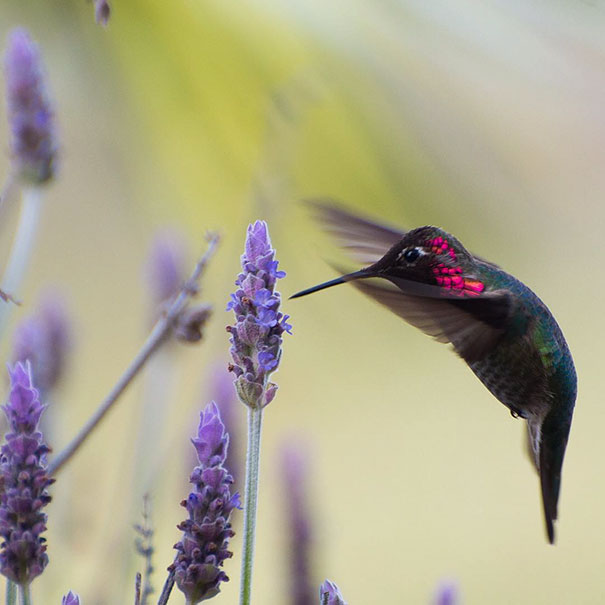 hummingbird-closeup-photography-tracy-johnson-california-5