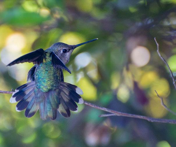 hummingbird-closeup-photography-tracy-johnson-california-8