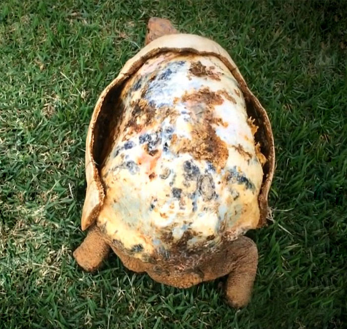 tortoise-freddy-survives-fire-gets-3d-printed-shell-1
