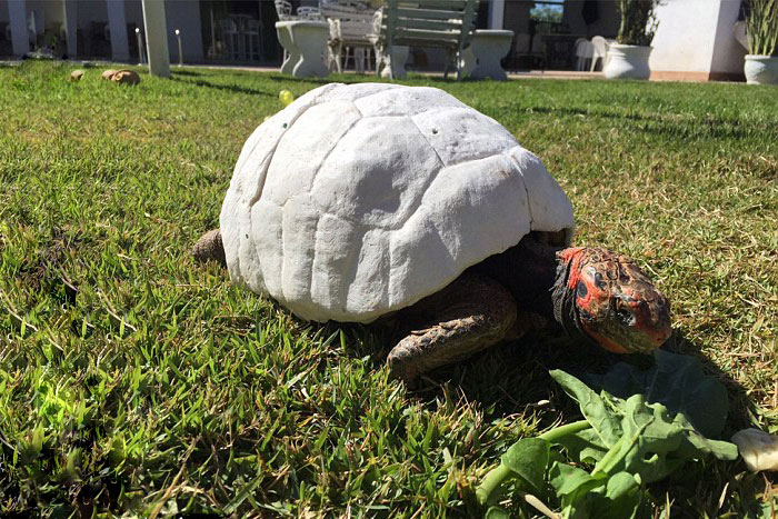 tortoise-freddy-survives-fire-gets-3d-printed-shell-3