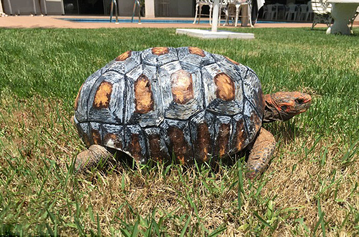 tortoise-freddy-survives-fire-gets-3d-printed-shell-5