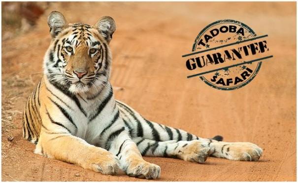 Confirm Your booking for Tadoba Jeep Safari Guaranteed