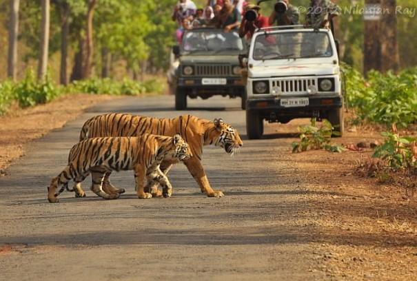 Tiger are walking ahead of jeep safari