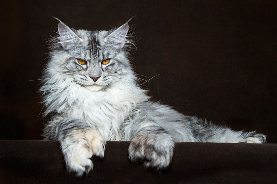 maine coon cats photographed as majestic mythical beasts. Black Bedroom Furniture Sets. Home Design Ideas
