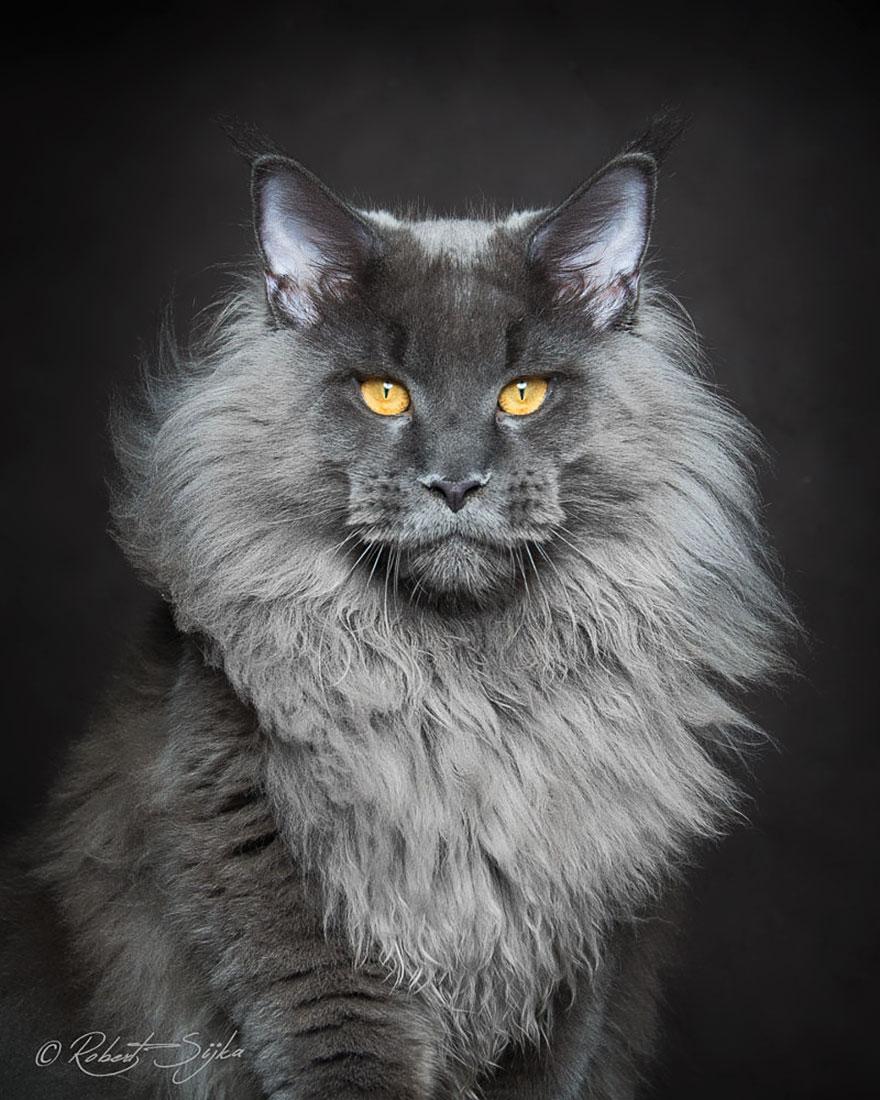 Maine Coon Weird Cat Breeds 6