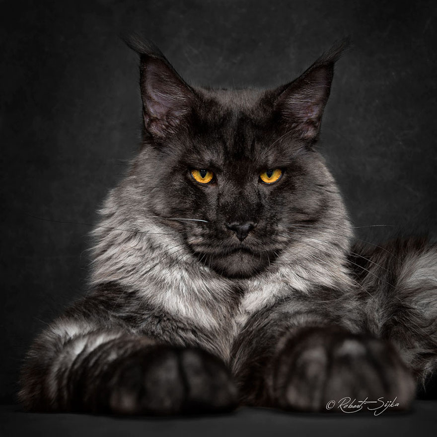 Maine Coon Cats Photographed As Majestic Mythical Beasts