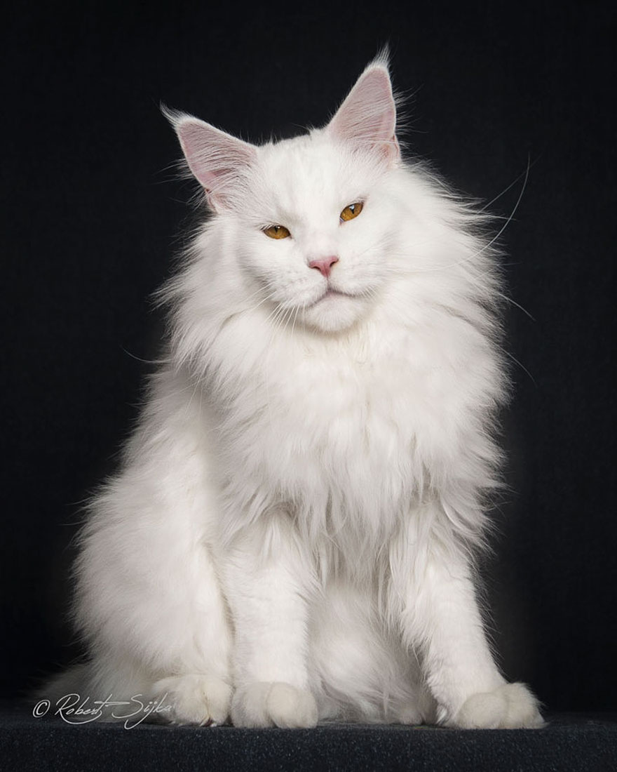 biggest-maine-coon-cat-photography-robert-sijka-14