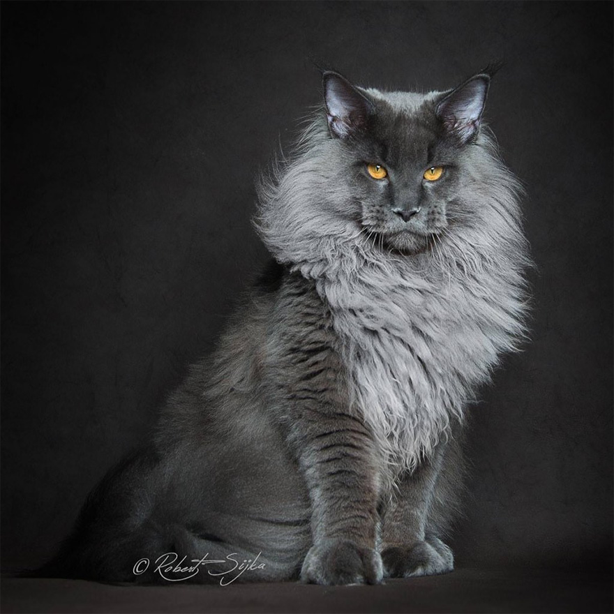 Maine Coon Cats Pictures Images