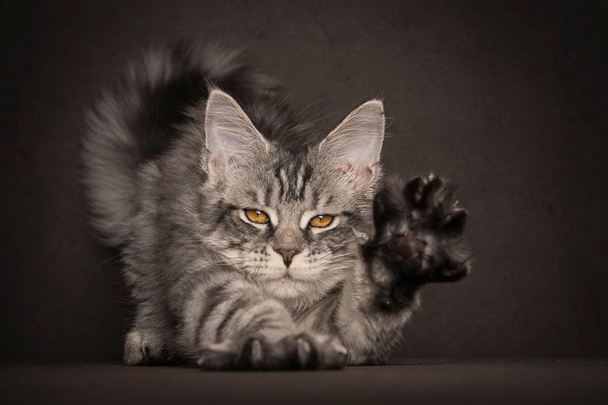 Maine Coon Cat Pictures Biggest