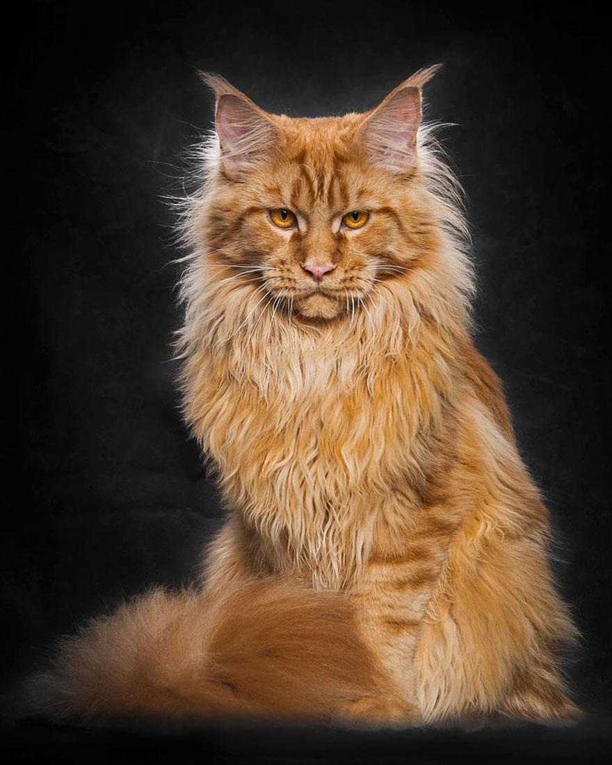 biggest-maine-coon-cat-photography-robert-sijka-9