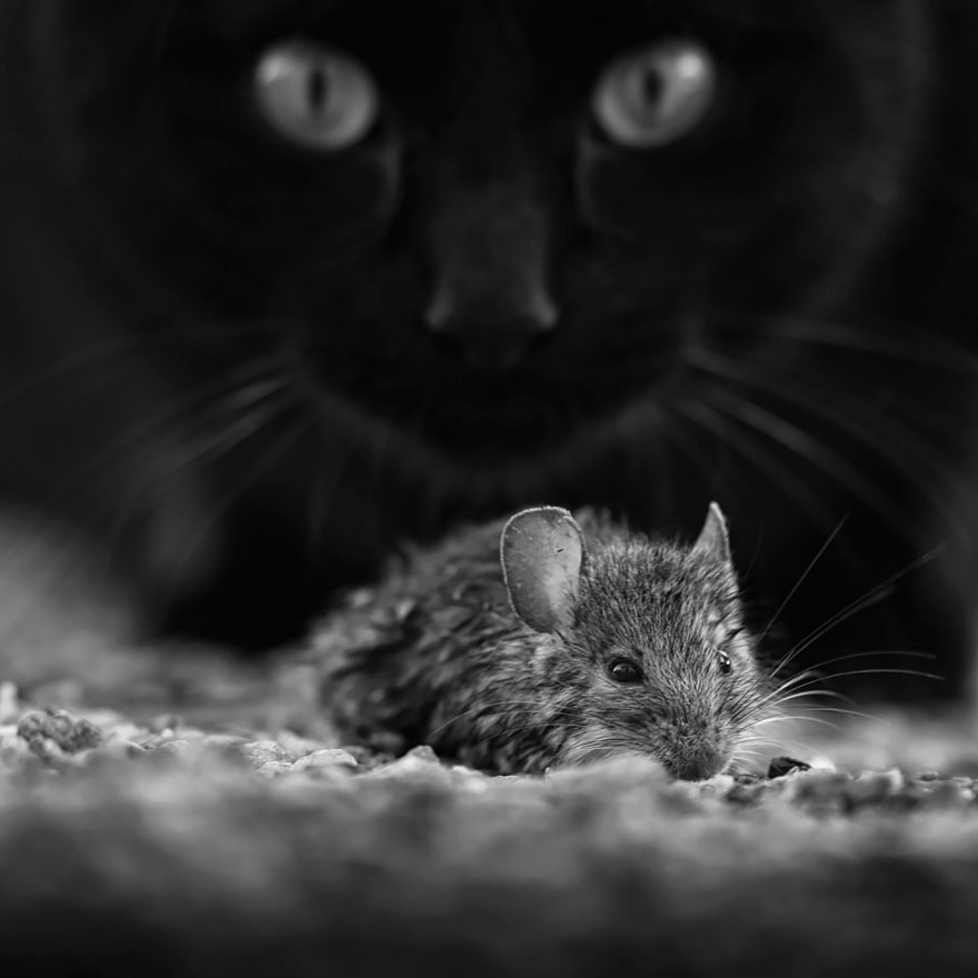 mysterious-cats-black-and-white-portraits-1: www.demilked.com/mysterious-cats-black-and-white-portraits