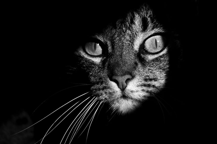 mysterious-cats-black-and-white-portraits-5