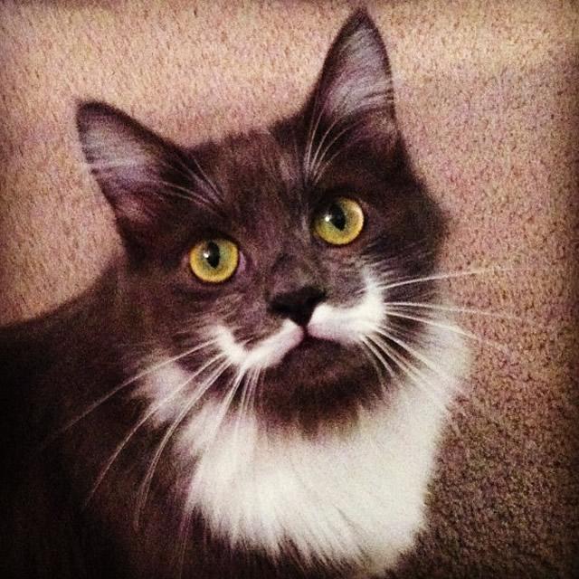 #8 HAMILTON_THE_HIPSTER_CAT