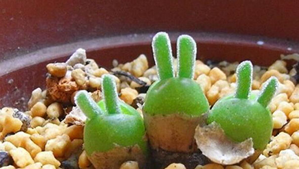 Japanese Are Going Crazy About These Succulents That Grow Adorable - Japan is going mad over these tiny succulents that look like bunny ears