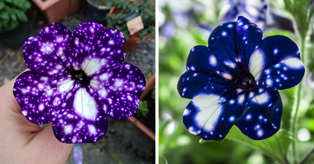 """These """"Galaxy"""" Flowers Grow Entire Universes On Their ..."""