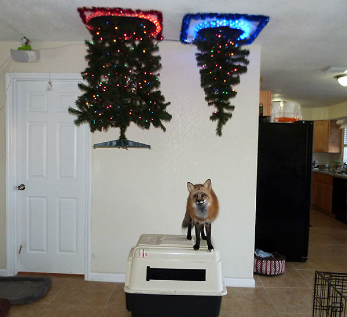 #1 The Best Way I Could Put Up A Christmas Tree With A Fox In The House