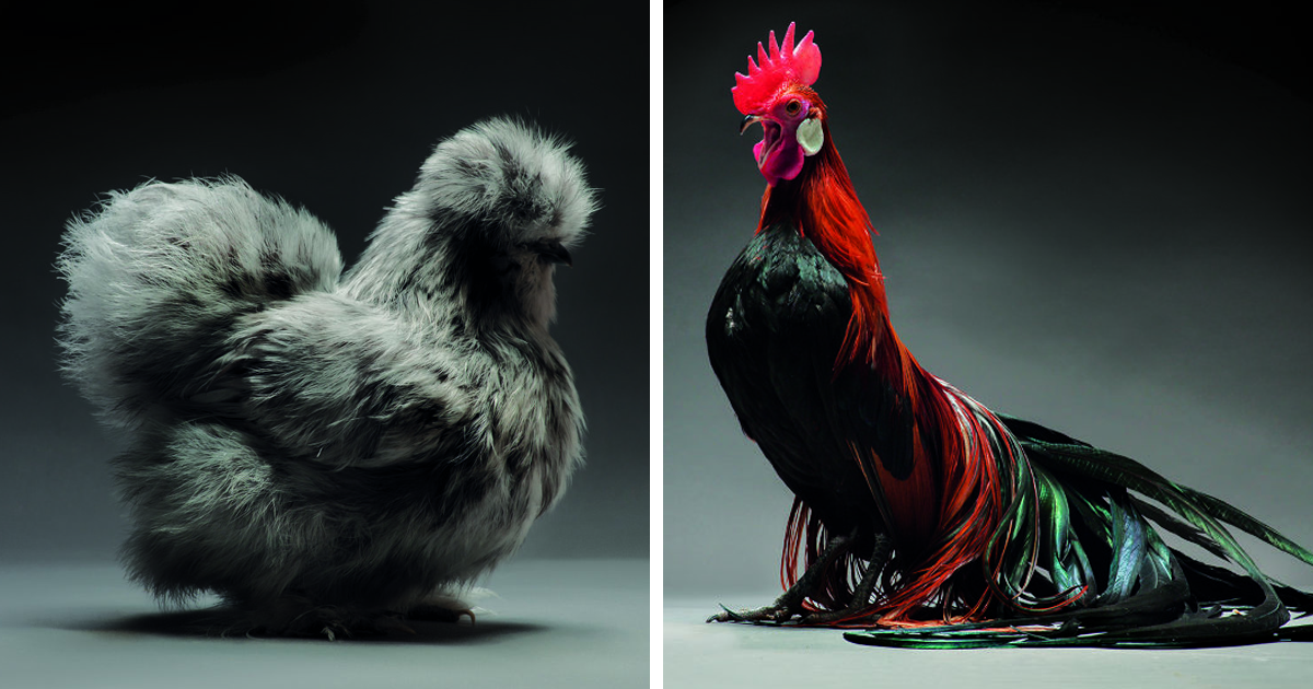 87 Best Beauty Fashion Around The World Images On: Photographer Documents Chickens, And They All Look Like