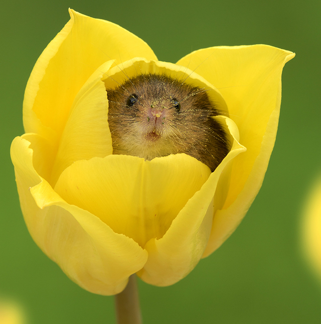 Photographer Tiptoes Through The Tulips To Capture Harvest Mice ...