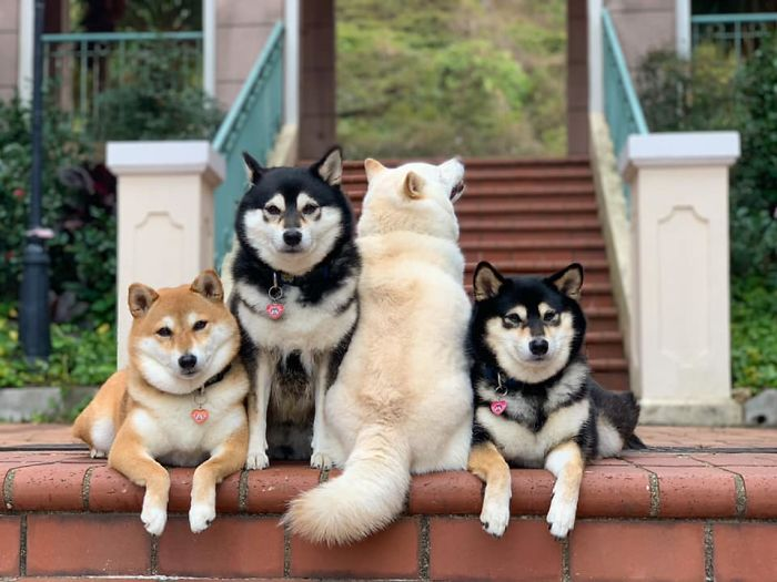 20 Times This Adorable Shiba Inu Ruined Group Photos